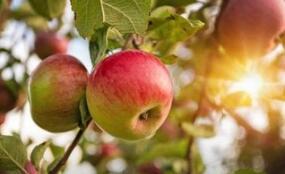 苹果期货尾盘大幅拉涨,收涨4%