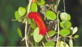 """""""隐世""""百年的植物再现身 上一次被采集记录已是1912年"""