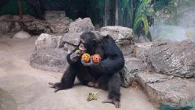部分黑猩猩被发现有心骨 有些人类也会有?
