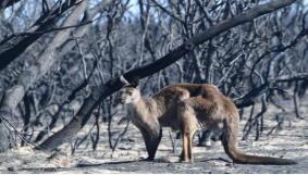 大火持续数周!澳世界自然遗产弗雷泽岛近半土地被烧