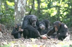 """外媒:黑猩猩有独特的""""握手""""方式"""